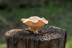 Macro mushroom on old and dead tree stump in the forest Royalty Free Stock Image