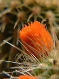 Macro. My beautiful orange cactus and sharp thorn stock image