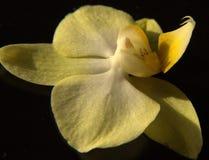 Macro. My orchide flower & beautiful yellow stock photo