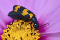 Macro mylabris beetle on flower Royalty Free Stock Photography