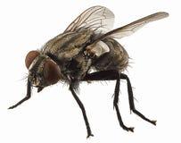 Macro na mosca Fotografia de Stock