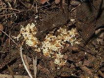 Macro natura - formiche Fotografia Stock Libera da Diritti