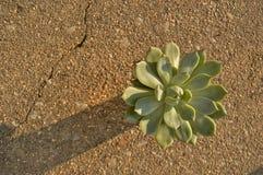 Macro natural de la luz del sol del fondo suculento de la planta de la gallina y del cactus de los polluelos fotografía de archivo