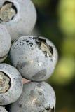 Macro natural del arándano Foto de archivo