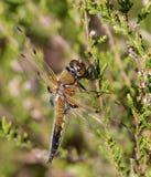 Macro nera della libellula del darter Fotografia Stock Libera da Diritti