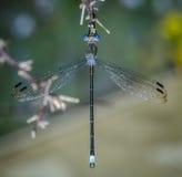 Macro nera e blu della libellula Immagini Stock Libere da Diritti