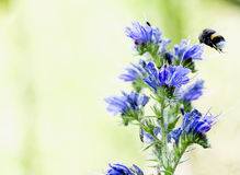 Macro nettare del bombo della riunione sui giacimenti del fiore di un miele della pianta e sui prati - la contusione Immagini Stock Libere da Diritti