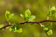 Macro of new baby leaves on branch royalty free stock photos