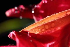 Macro Night Light Photography of tropical Pink Red Pedal Flower. Macro Night Light Photography of tropical Pink Red Petel Flower with dew after rain water drop Royalty Free Stock Photos