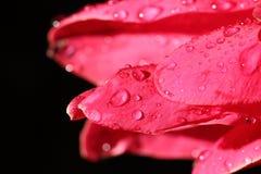 Macro Night Light Photography of tropical Pink Red Pedal Flower. Macro Night Light Photography of tropical Pink Red Petel Flower with dew after rain water drop Stock Photo