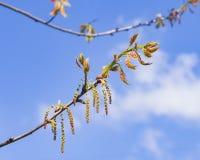 Macro nordica del fiore di quercus rubra della quercia del campione o di rosso con il fondo del bokeh, fuoco selettivo, DOF basso Immagini Stock Libere da Diritti