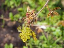 Macro nordica del fiore di quercus rubra della quercia del campione o di rosso con il fondo del bokeh, fuoco selettivo, DOF basso Immagini Stock