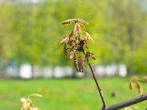 Macro nordica del fiore di quercus rubra della quercia del campione o di rosso con il fondo del bokeh, fuoco selettivo, DOF basso Fotografia Stock