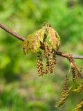 Macro nordica del fiore di quercus rubra della quercia del campione o di rosso con il fondo del bokeh, fuoco selettivo, DOF basso Fotografie Stock