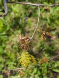 Macro nordica del fiore di quercus rubra della quercia del campione o di rosso con il fondo del bokeh, fuoco selettivo, DOF basso Fotografia Stock Libera da Diritti