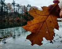 Macro oak leaf stock image
