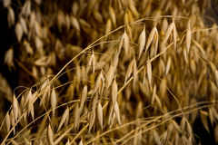 Macro of oat crop Stock Image