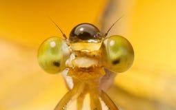 Macro occhio estremo del colpo della libellula di Zygoptera in selvaggio Il dettaglio alto di fine della libellula dell'occhio è  fotografia stock libera da diritti