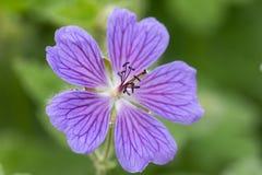 Free Macro Of A Geranium Renardii Stock Photography - 149451572