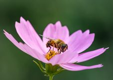 Free Macro Of A Honey Bee Apis Mellifera On A Pink Cosmos Blossom With Blurred Bokeh Background Stock Image - 167943461
