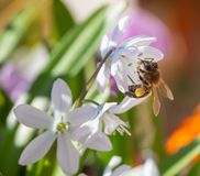 Free Macro Of A Honey Bee Apis Mellifera On A Puschkinia Scilloides Blossom Stock Photo - 168583280