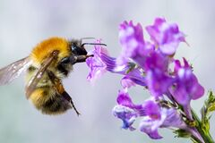 Free Macro Of Bee On Flower Royalty Free Stock Photography - 202012577