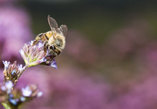 Macro Of Bee On Small Flower Stock Images
