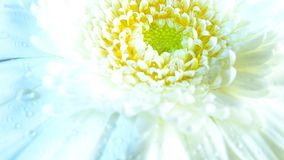 Macro Of Gerbera Flower Wallpaper Stock Photography