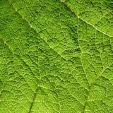 Macro Of Green Leaf Stock Photo