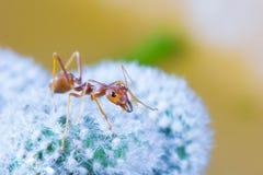 Free Macro Of Green Tree Ant, Green Tree Ant Macro, Macro Ants, Oecophylla Smaragdina, Oecophylla, Small Ant, Beautiful Ants, Cute Ant Royalty Free Stock Photography - 138406557