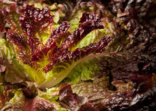 Free Macro Of Purple Lettuce Stock Image - 16167481