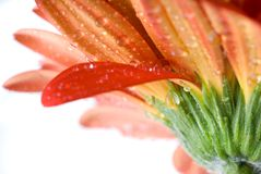 Macro Of Red Daisy-gerbera Head With Water Drops Royalty Free Stock Photo