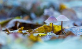 Free Macro Of Small Uneatable Mushrooms Growing In Autumn Forest Royalty Free Stock Images - 80499219