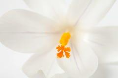 Free Macro Of White Dutch Spring Crocus Flower Stock Photography - 18779802