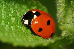 Macro one Caucasian ladybug on a green leaf nettle. Macro one red with black spots Caucasian ladybug on top of fluffy green nettle leaf spring royalty free stock photos
