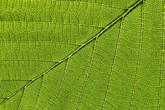 Macro of one leaf Stock Image