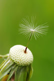 Macro of one seed of dandelion.  Royalty Free Stock Photography