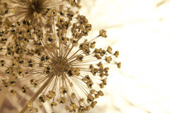 Macro of onion flowers Royalty Free Stock Images