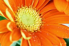 Macro of an Open Orange Gerber Daisy. Abstract of an orange gerber daisy macro with water droplets on the petals. Extreme shallow depth of field with selective Royalty Free Stock Photos