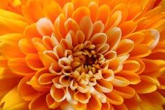 Macro of orange aster flower Royalty Free Stock Photography
