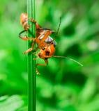 Macro of the orange black bug looking to camera Royalty Free Stock Photo