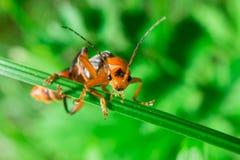 Macro of the orange black bug looking to camera Royalty Free Stock Images