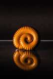 Macro of orange and brown millipede on glass with reflection, Millipede coiled, Disambiguation Royalty Free Stock Photo