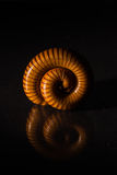 Macro of orange and brown millipede on glass with reflection, Millipede coiled, Disambiguation Royalty Free Stock Image