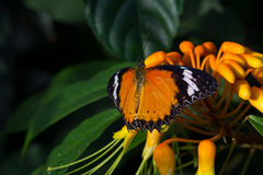 Macro of Orange Butterfly Stock Image