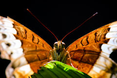 Macro Orange butterfly. Close up of the face and wings of an orange butterfly on a green leaf royalty free stock images
