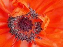 Poppy flower close-up Stock Photos