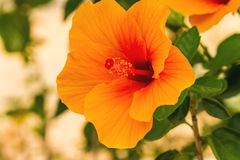 Macro of orange China Rose flower (Chinese hibiscus, Hibiscus ro Royalty Free Stock Images