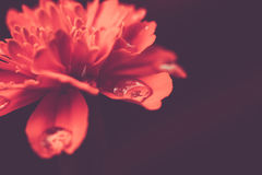 Macro orange de souci Image stock