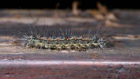 Macro of orange dotted hairy caterpillar lymantria dispar Royalty Free Stock Image